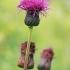 Įvairialapė usnis - Cirsium heterophyllum | Fotografijos autorius : Gintautas Steiblys | © Macrogamta.lt | Šis tinklapis priklauso bendruomenei kuri domisi makro fotografija ir fotografuoja gyvąjį makro pasaulį.