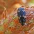 Grybvabalis - Mycetophagus piceus | Fotografijos autorius : Agnė Našlėnienė | © Macrogamta.lt | Šis tinklapis priklauso bendruomenei kuri domisi makro fotografija ir fotografuoja gyvąjį makro pasaulį.