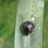 Dobilinė kamuolblakė - Coptosoma scutellatum   Fotografijos autorius : Agnė Našlėnienė   © Macrogamta.lt   Šis tinklapis priklauso bendruomenei kuri domisi makro fotografija ir fotografuoja gyvąjį makro pasaulį.