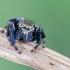 Vaivorykštinis musėgaudis - Evarcha arcuata | Fotografijos autorius : Darius Baužys | © Macrogamta.lt | Šis tinklapis priklauso bendruomenei kuri domisi makro fotografija ir fotografuoja gyvąjį makro pasaulį.