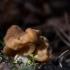 Valgomasis bobausis - Gyromitra esculenta   Fotografijos autorius : Dalia Račkauskaitė   © Macrogamta.lt   Šis tinklapis priklauso bendruomenei kuri domisi makro fotografija ir fotografuoja gyvąjį makro pasaulį.
