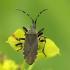 Vikrioji dirvablakė - Dicranocephalus agilis | Fotografijos autorius : Vidas Brazauskas | © Macrogamta.lt | Šis tinklapis priklauso bendruomenei kuri domisi makro fotografija ir fotografuoja gyvąjį makro pasaulį.