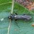Vytis - Cratichneumon sicarius ♀ | Fotografijos autorius : Žilvinas Pūtys | © Macrogamta.lt | Šis tinklapis priklauso bendruomenei kuri domisi makro fotografija ir fotografuoja gyvąjį makro pasaulį.