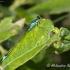 Elegantiškoji strėliukė (Ischnura elegans), patinas   Fotografijos autorius : Aleksandras Naryškin   © Macrogamta.lt   Šis tinklapis priklauso bendruomenei kuri domisi makro fotografija ir fotografuoja gyvąjį makro pasaulį.