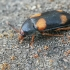 Keturdėmis grybvabalis - Mycetophagus quadripustulatus | Fotografijos autorius : Gintautas Steiblys | © Macrogamta.lt | Šis tinklapis priklauso bendruomenei kuri domisi makro fotografija ir fotografuoja gyvąjį makro pasaulį.