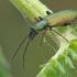 Žaliasis laibavabalis - Chrysanthia geniculata | Fotografijos autorius : Gintautas Steiblys | © Macrogamta.lt | Šis tinklapis priklauso bendruomenei kuri domisi makro fotografija ir fotografuoja gyvąjį makro pasaulį.