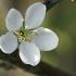 Vyšninė slyva - Prunus cerasifera | Fotografijos autorius : Gintautas Steiblys | © Macrogamta.lt | Šis tinklapis priklauso bendruomenei kuri domisi makro fotografija ir fotografuoja gyvąjį makro pasaulį.