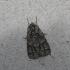 Pilkrudis strėlinukas - Acronicta auricoma | Fotografijos autorius : Vytautas Gluoksnis | © Macrogamta.lt | Šis tinklapis priklauso bendruomenei kuri domisi makro fotografija ir fotografuoja gyvąjį makro pasaulį.