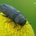 Keturtaškis blizgiavabalis - Anthaxia quodripunctata  | Fotografijos autorius : Gintautas Steiblys | © Macrogamta.lt | Šis tinklapis priklauso bendruomenei kuri domisi makro fotografija ir fotografuoja gyvąjį makro pasaulį.