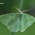 Smaragdinis žaliasprindis - Antonechloris smaragdaria    Fotografijos autorius : Gintautas Steiblys   © Macrogamta.lt   Šis tinklapis priklauso bendruomenei kuri domisi makro fotografija ir fotografuoja gyvąjį makro pasaulį.