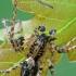 Miškinis gležnavoris - Anyphaena accentuata, patinas  | Fotografijos autorius : Gintautas Steiblys | © Macrogamta.lt | Šis tinklapis priklauso bendruomenei kuri domisi makro fotografija ir fotografuoja gyvąjį makro pasaulį.