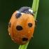 Septyntaškė boružė - Coccinella septempunctata  | Fotografijos autorius : Gintautas Steiblys | © Macrogamta.lt | Šis tinklapis priklauso bendruomenei kuri domisi makro fotografija ir fotografuoja gyvąjį makro pasaulį.