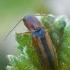 Raudonšonis spragšis - Dalopius marginatus  | Fotografijos autorius : Gintautas Steiblys | © Macrogamta.lt | Šis tinklapis priklauso bendruomenei kuri domisi makro fotografija ir fotografuoja gyvąjį makro pasaulį.