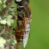 Bitmusė - Eristalis arbustorum  | Fotografijos autorius : Gintautas Steiblys | © Macrogamta.lt | Šis tinklapis priklauso bendruomenei kuri domisi makro fotografija ir fotografuoja gyvąjį makro pasaulį.