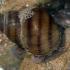 Upinė nendrenė - Viviparus viviparus | Fotografijos autorius : Gintautas Steiblys | © Macrogamta.lt | Šis tinklapis priklauso bendruomenei kuri domisi makro fotografija ir fotografuoja gyvąjį makro pasaulį.