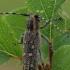 Mažasis drebulenis - Saperda populnea | Fotografijos autorius : Gintautas Steiblys | © Macrogamta.lt | Šis tinklapis priklauso bendruomenei kuri domisi makro fotografija ir fotografuoja gyvąjį makro pasaulį.