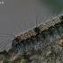 Keturtaškė kerpytė - Lithosia quadra- vikšras   Fotografijos autorius : Gintautas Steiblys   © Macrogamta.lt   Šis tinklapis priklauso bendruomenei kuri domisi makro fotografija ir fotografuoja gyvąjį makro pasaulį.