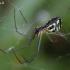 Lenktadėmis lygumvoris - Neriene peltata | Fotografijos autorius : Gintautas Steiblys | © Macrogamta.lt | Šis tinklapis priklauso bendruomenei kuri domisi makro fotografija ir fotografuoja gyvąjį makro pasaulį.