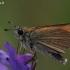 Juodabuožis storgalvis - Thymelicus lineola | Fotografijos autorius : Gintautas Steiblys | © Macrogamta.lt | Šis tinklapis priklauso bendruomenei kuri domisi makro fotografija ir fotografuoja gyvąjį makro pasaulį.