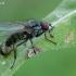 Žiedenė - Hydrophoria cf. lancifer | Fotografijos autorius : Gintautas Steiblys | © Macrogamta.lt | Šis tinklapis priklauso bendruomenei kuri domisi makro fotografija ir fotografuoja gyvąjį makro pasaulį.