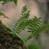 Paprastoji šertvė - Polypodium vulgare | Fotografijos autorius : Gintautas Steiblys | © Macrogamta.lt | Šis tinklapis priklauso bendruomenei kuri domisi makro fotografija ir fotografuoja gyvąjį makro pasaulį.