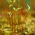 Jautrusis perkūnrugis - Funaria hygrometrica | Fotografijos autorius : Gintautas Steiblys | © Macrogamta.lt | Šis tinklapis priklauso bendruomenei kuri domisi makro fotografija ir fotografuoja gyvąjį makro pasaulį.