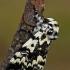 Juodmargis miškinukas - Panthea coenobita | Fotografijos autorius : Gintautas Steiblys | © Macrogamta.lt | Šis tinklapis priklauso bendruomenei kuri domisi makro fotografija ir fotografuoja gyvąjį makro pasaulį.