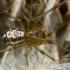 Tamsiakraštis kilpininkas - Phylloneta (=Theridion) impressa ♂  | Fotografijos autorius : Gintautas Steiblys | © Macrogamta.lt | Šis tinklapis priklauso bendruomenei kuri domisi makro fotografija ir fotografuoja gyvąjį makro pasaulį.
