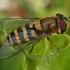 Žiedmusė - Syrphus torvus  | Fotografijos autorius : Gintautas Steiblys | © Macrogamta.lt | Šis tinklapis priklauso bendruomenei kuri domisi makro fotografija ir fotografuoja gyvąjį makro pasaulį.