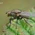 Žiedenė - Botanophila sp.  | Fotografijos autorius : Gintautas Steiblys | © Macrogamta.lt | Šis tinklapis priklauso bendruomenei kuri domisi makro fotografija ir fotografuoja gyvąjį makro pasaulį.
