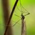 Žieminis uodas - Trichocera sp. | Fotografijos autorius : Gintautas Steiblys | © Macrogamta.lt | Šis tinklapis priklauso bendruomenei kuri domisi makro fotografija ir fotografuoja gyvąjį makro pasaulį.