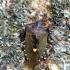 Pentatoma rufipes - Raudonkojė skydblakė | Fotografijos autorius : Algirdas Vilkas | © Macrogamta.lt | Šis tinklapis priklauso bendruomenei kuri domisi makro fotografija ir fotografuoja gyvąjį makro pasaulį.