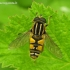 Helophilus pendulus - Žiedmusė | Fotografijos autorius : Algirdas Vilkas | © Macrogamta.lt | Šis tinklapis priklauso bendruomenei kuri domisi makro fotografija ir fotografuoja gyvąjį makro pasaulį.
