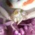 Misumena vatia - Geltonasis žiedvoris | Fotografijos autorius : Lukas Jonaitis | © Macrogamta.lt | Šis tinklapis priklauso bendruomenei kuri domisi makro fotografija ir fotografuoja gyvąjį makro pasaulį.