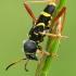 Drebulinis raštenis - Clytus arietis | Fotografijos autorius : Lukas Jonaitis | © Macrogamta.lt | Šis tinklapis priklauso bendruomenei kuri domisi makro fotografija ir fotografuoja gyvąjį makro pasaulį.
