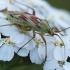Rausvadėmė žolblakė – Calocoris roseomaculatus  | Fotografijos autorius : Arūnas Eismantas | © Macrogamta.lt | Šis tinklapis priklauso bendruomenei kuri domisi makro fotografija ir fotografuoja gyvąjį makro pasaulį.