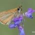 Thymelicus lineola - Juodbuožis storgalvis | Fotografijos autorius : Arūnas Eismantas | © Macrogamta.lt | Šis tinklapis priklauso bendruomenei kuri domisi makro fotografija ir fotografuoja gyvąjį makro pasaulį.
