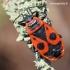 Pyrrhocoris apterus - Blakė kareivėlis | Fotografijos autorius : Arūnas Eismantas | © Macrogamta.lt | Šis tinklapis priklauso bendruomenei kuri domisi makro fotografija ir fotografuoja gyvąjį makro pasaulį.