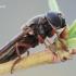 Cheilosia flavipes - Žalutė   Fotografijos autorius : Arūnas Eismantas   © Macrogamta.lt   Šis tinklapis priklauso bendruomenei kuri domisi makro fotografija ir fotografuoja gyvąjį makro pasaulį.