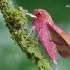 Mažasis sfinksas - Deilephila porcellus   Fotografijos autorius : Arūnas Eismantas   © Macrogamta.lt   Šis tinklapis priklauso bendruomenei kuri domisi makro fotografija ir fotografuoja gyvąjį makro pasaulį.