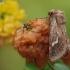 Baltajuostis nendrinukas - Phragmatiphila nexa  | Fotografijos autorius : Arūnas Eismantas | © Macrogamta.lt | Šis tinklapis priklauso bendruomenei kuri domisi makro fotografija ir fotografuoja gyvąjį makro pasaulį.