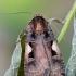 Gelsvadėmis dirvinukas - Xestia c-nigrum   Fotografijos autorius : Arūnas Eismantas   © Macrogamta.lt   Šis tinklapis priklauso bendruomenei kuri domisi makro fotografija ir fotografuoja gyvąjį makro pasaulį.