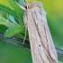 Gelsvapilkis pievinukas - Mythimna impura | Fotografijos autorius : Arūnas Eismantas | © Macrogamta.lt | Šis tinklapis priklauso bendruomenei kuri domisi makro fotografija ir fotografuoja gyvąjį makro pasaulį.