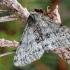 Sniegsprindis - Phigalia pilosaria | Fotografijos autorius : Arūnas Eismantas | © Macrogamta.lt | Šis tinklapis priklauso bendruomenei kuri domisi makro fotografija ir fotografuoja gyvąjį makro pasaulį.