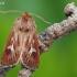 Pievinis pelėdgalvis - Cerapteryx graminis  | Fotografijos autorius : Arūnas Eismantas | © Macrogamta.lt | Šis tinklapis priklauso bendruomenei kuri domisi makro fotografija ir fotografuoja gyvąjį makro pasaulį.