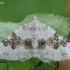 Blyškioji cidarija - Xanthorhoe montanata | Fotografijos autorius : Arūnas Eismantas | © Macrogamta.lt | Šis tinklapis priklauso bendruomenei kuri domisi makro fotografija ir fotografuoja gyvąjį makro pasaulį.