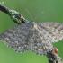 Scopula immorata - Margasparnis sprindžiukas   Fotografijos autorius : Arūnas Eismantas   © Macrogamta.lt   Šis tinklapis priklauso bendruomenei kuri domisi makro fotografija ir fotografuoja gyvąjį makro pasaulį.