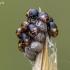 Skydblakių nimfos- 1 stadija. | Fotografijos autorius : Darius Baužys | © Macrogamta.lt | Šis tinklapis priklauso bendruomenei kuri domisi makro fotografija ir fotografuoja gyvąjį makro pasaulį.