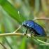 Zicrona caerulea - Mėlynoji skydblakė   Fotografijos autorius : Darius Baužys   © Macrogamta.lt   Šis tinklapis priklauso bendruomenei kuri domisi makro fotografija ir fotografuoja gyvąjį makro pasaulį.
