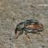 Ellescus scanicus - Straubliukas | Fotografijos autorius : Darius Baužys | © Macrogamta.lt | Šis tinklapis priklauso bendruomenei kuri domisi makro fotografija ir fotografuoja gyvąjį makro pasaulį.